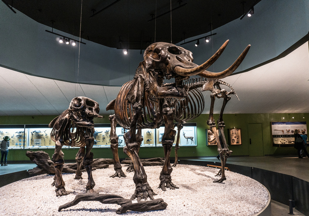 Ice Age Fantastic Finds: Woolly Mammoth Tusks and Woolly Rhinoceros Skulls
