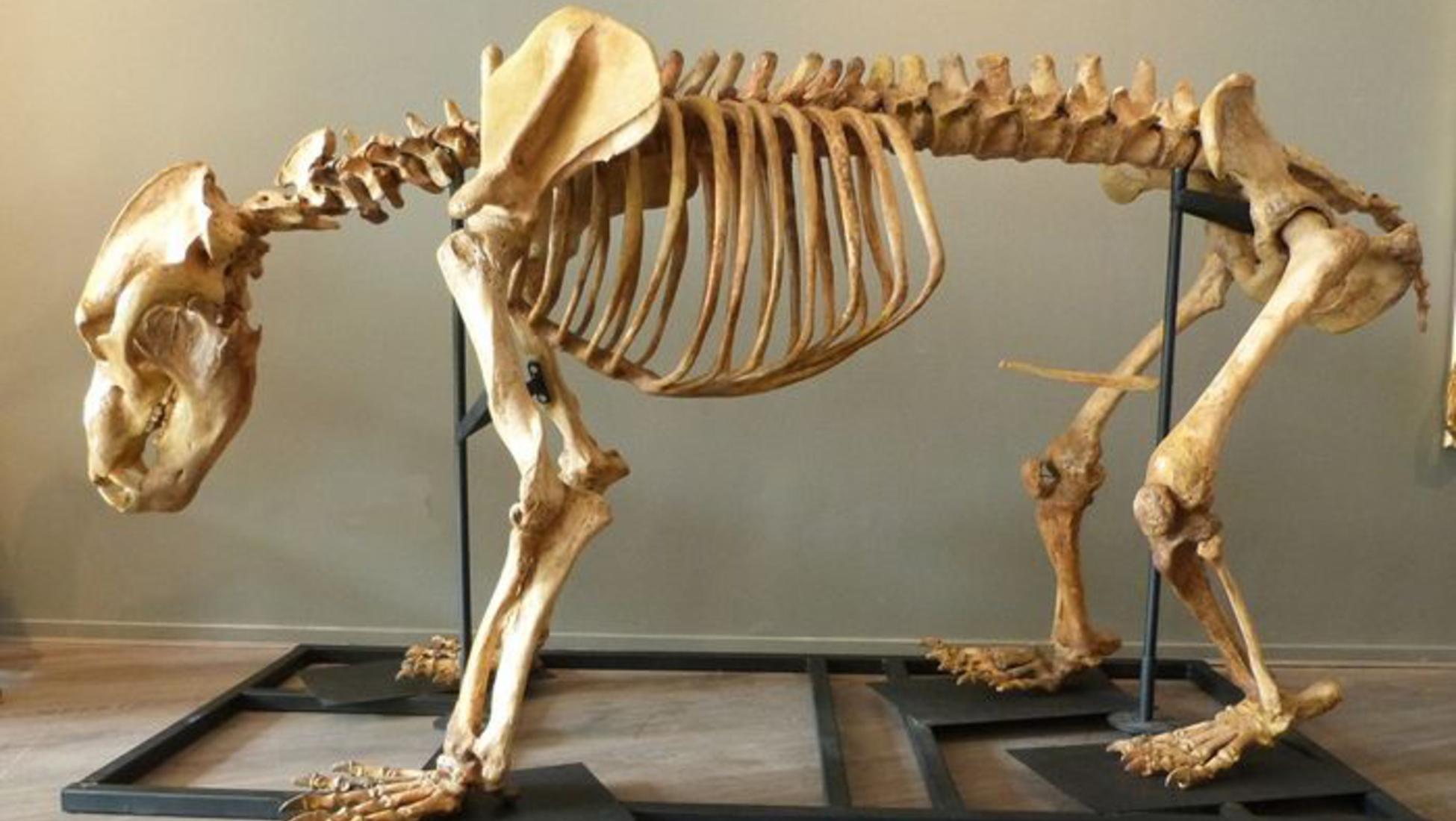 El esqueleto de oso cavernario completo al 90-95% disponible en Catawiki 71f30c1a4d7