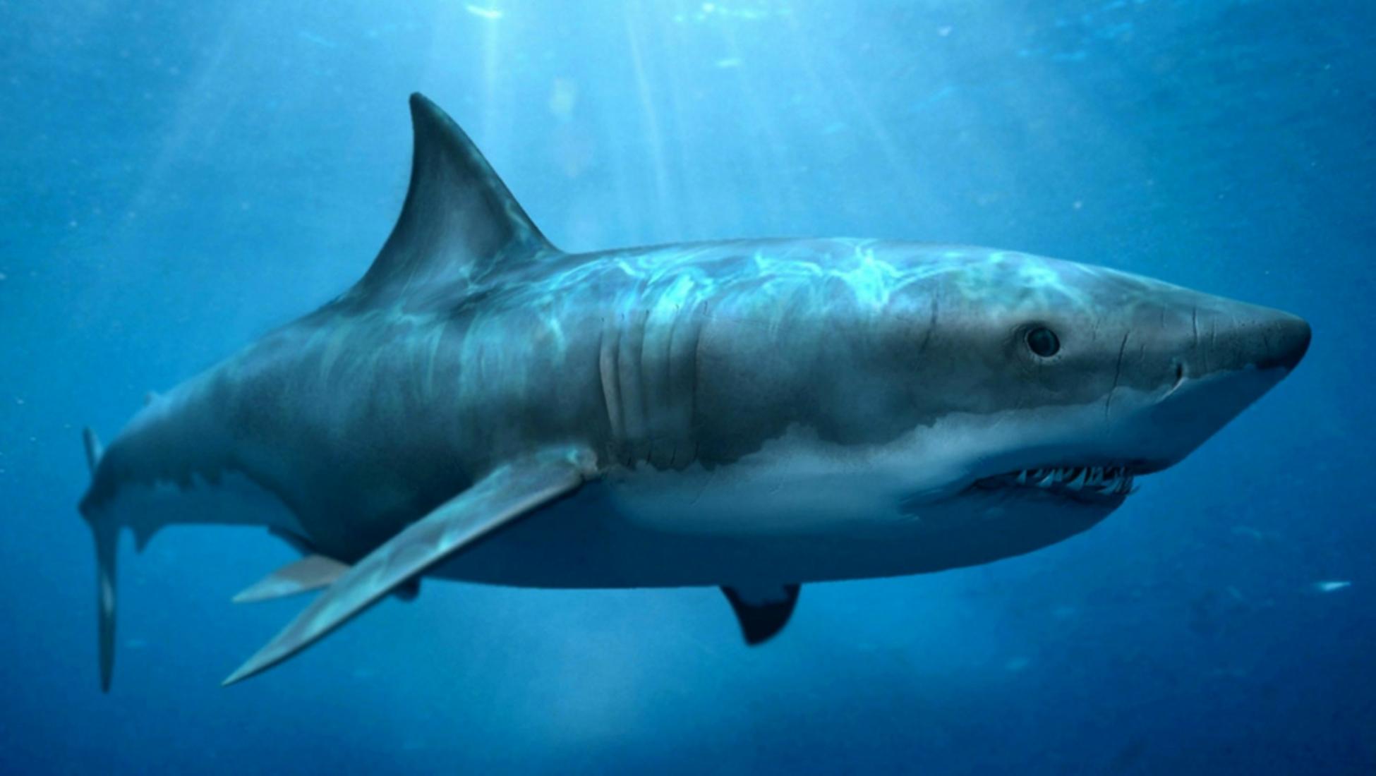 7aec47b68adb87 De afbeelding hieronder toont een vergelijking tussen een tand van een  megalodon en die van een moderne witte haai.